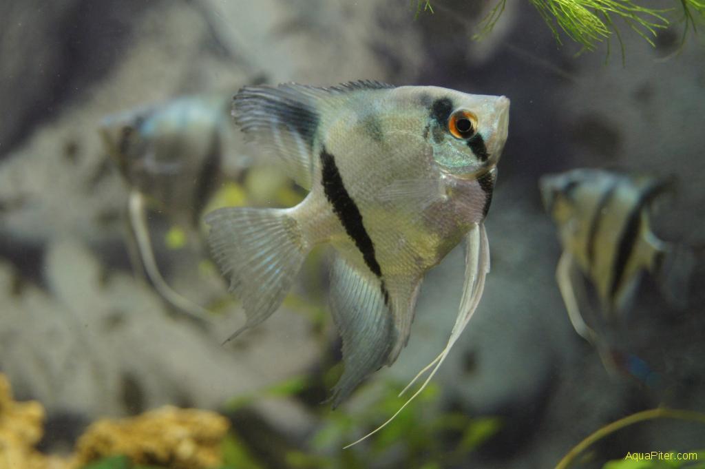 Беременная рыбка данио фото 56