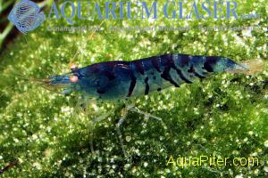 Neocaridina-Deep-Blue-Tiger-Yellow-Eyes_01.jpg