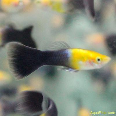 Гуппи черное золото самцы (Шри-Ланка)