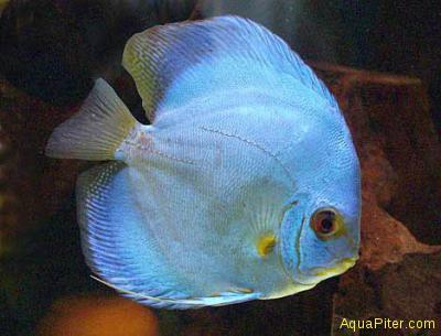 Дискус Голубой Бриллиант (Symphysodon aequifasciata), ML