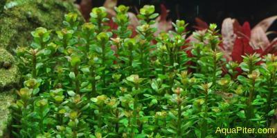 Аммания сп. Бонсай (Ammania sp. 'bonsai')