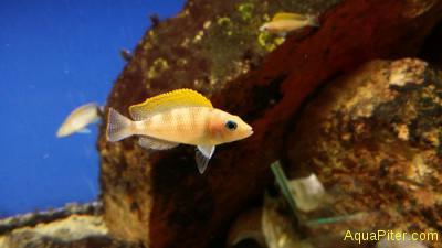 Неолампрологус Neolamprologus caudopunctatus orange fin