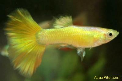 Гуппи германские желтые самцы (Шри-Ланка)
