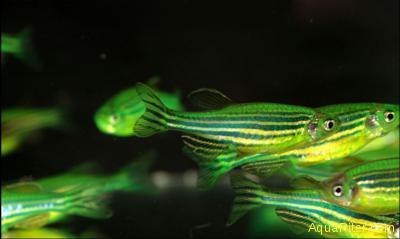 Данио рерио (GloFish) Мятный светящийся