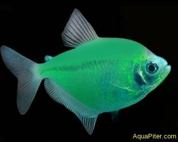 Тернеция (GloFish) Мятный леденец