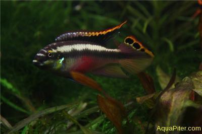 Пельвикахромис пульхер Pelvicachromis pulcher.