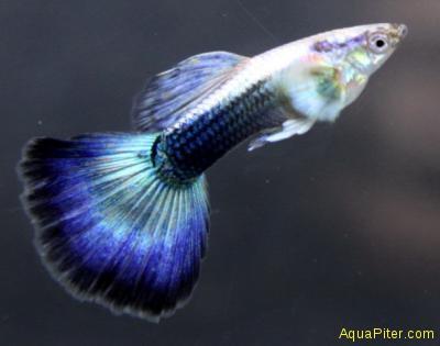 Гуппи туркис синий хвост самцы (Шри-Ланка)