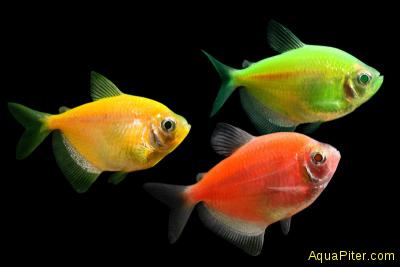 Тернеция (glo-fish) Ассорти СВЕТЯЩАЯСЯ