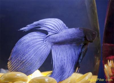 Петушок Вуалехвост (самец) Фиолетовый
