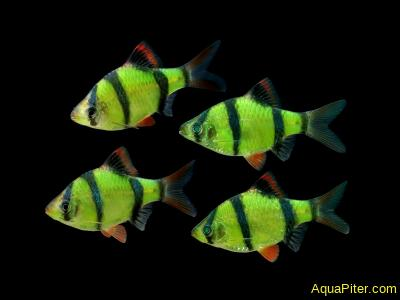 Барбус суматранский светящийся (GloFish) зеленый, классика