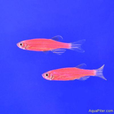 Данио рерио (GloFish) РОЗОВЫЙ СВЕТЯЩИЙСЯ