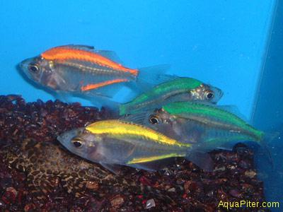 Окунь стеклянный (Chanda ranga) двухцветный ассорти