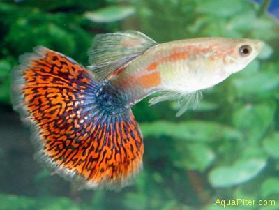 Гуппи мозаика самцы (Шри-Ланка)