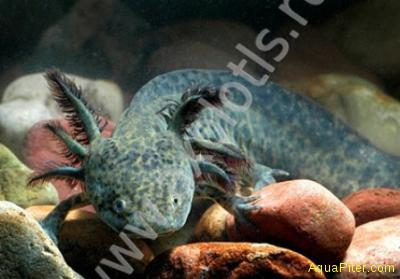 Аксолотль чёрный (ambistoma mexicanus), M