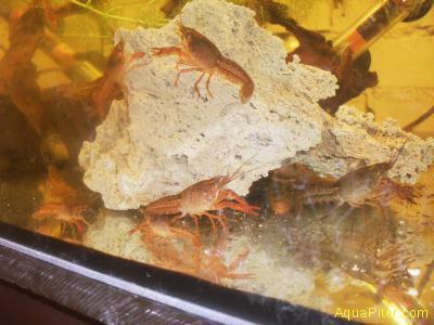 Рак Флоридский (красный) (Procambarus Clarkii), S