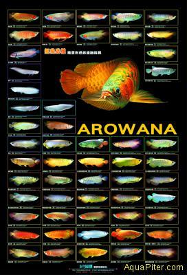 Постер АРОВАНЫ, 105х45 см
