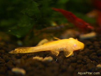 Анциструс золотой Ancistrus Albino Gold M