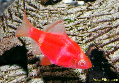 Барбус суматранский КРАСНЫЙ Альбино (GloFish) светящийся S