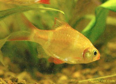 Барбус суматранский (альбино) (Barbus tetrazona)