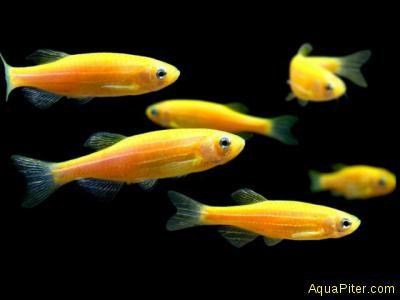 Данио рерио жёлтый (золотой) (Brachydanio rerio)