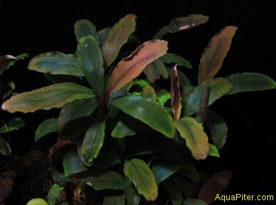 Bucephalandra sp. Cherish 4