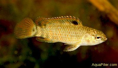 Бадис Бихар (Badis singenensis sp. Buxar)