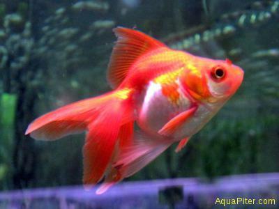 Риукин красно-белый (Carassius auratus)