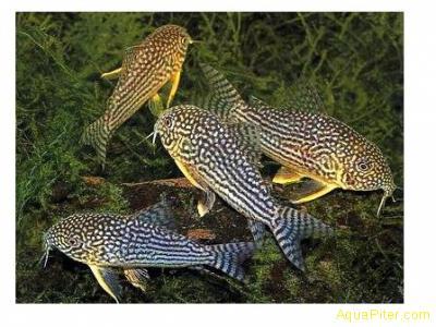 Коридорас Штербы (Corydoras Sterbai)