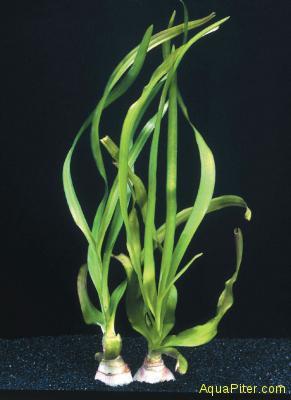 Кринум тайский (Crinium thaianum) (луковица)