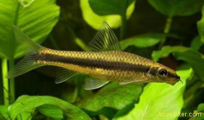 Водорослеед вьетнамский (Crossocheilus oblongus)