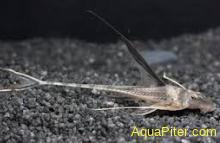 Лорикария обыкновенная Dasyloricaria filamentosa