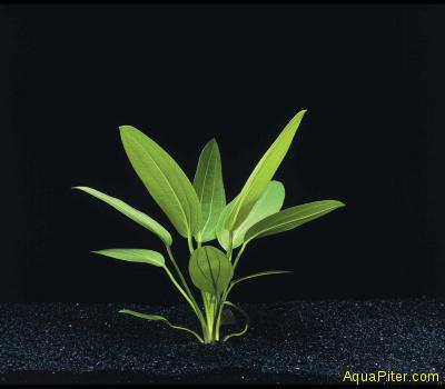 Эхинодорус мурикатус (Echinodorus muricatus)