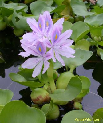 Гиацинт водяной Eichornia crassipes