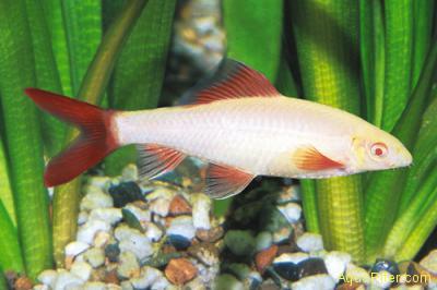 Лабео зеленый (альбино) (Epalzeorhynchos frenatus var. albino)