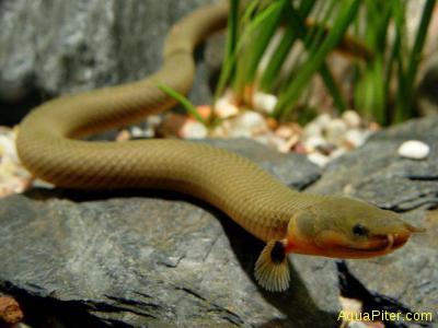 "Каламаихт калабарский ""Рыба-змея"" (Erpetoichthys calabaricus)"