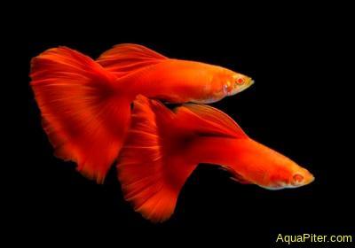 Гуппи Красные полные альбино (Full Red Albino Guppy), самцы и самки