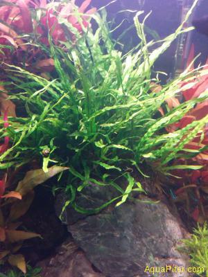 Папоротник Таиландский Узколистный sp Java Fern Narrow Leaf (Microsorium pteropu