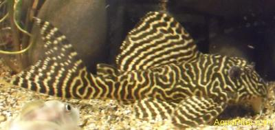 L-066 Гипанциструс тигровый королевский (Hypancistrus sp. L066)
