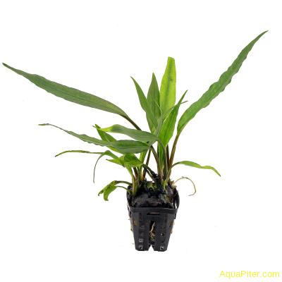 Лагенандра Твайтеза (Lagenandra thwaitesii)