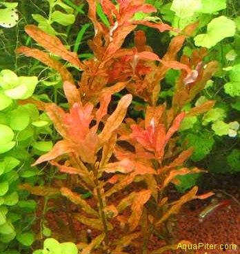 Людвигия инклината (Ludwigia inclinata)