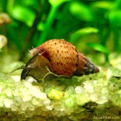 Улитка Гранифера (Melanoides Granifera)