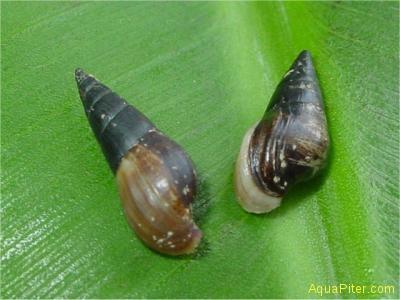 Улитка мелания (Melanoides sp.)