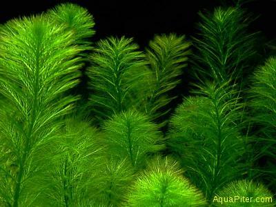 Перистолистник зеленый хиппироидесс (Myriophyllum hippuroides)
