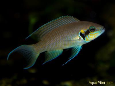 Принцесса Бурунди (Neolamprologus brichardi)