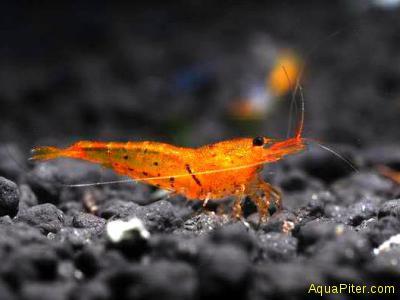Креветка Оранжевый Тигр (Orange Tiger Shrimp)