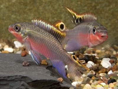 """Пельвикахромис пульхер Red """"Камеруни"""" (Pelvicachromis pulcher Red)"""