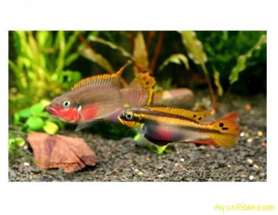 Пельвикахромис таениатус Нигерия Рэд Pelvicachromis Nigeria-Red L