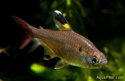 Пристелла (Pristella maxilaris)