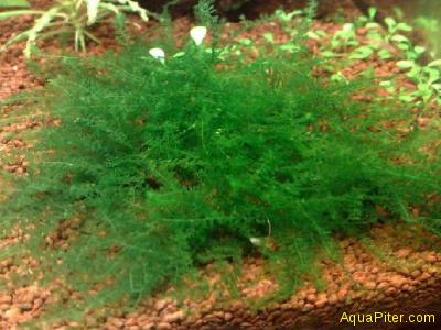 Мох Queen (Amblystegiaceae sp Manaus)