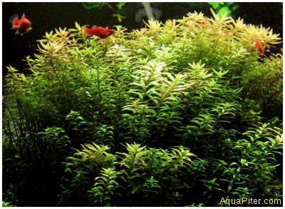 Ротала индийская (Rotala indica), с грузом